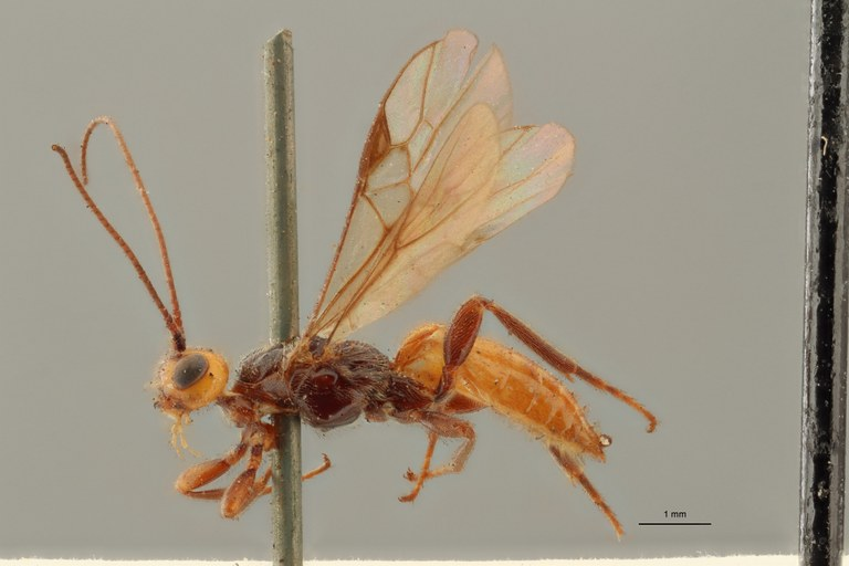 Coeloides scolyticida lct L ZS PMax.jpg