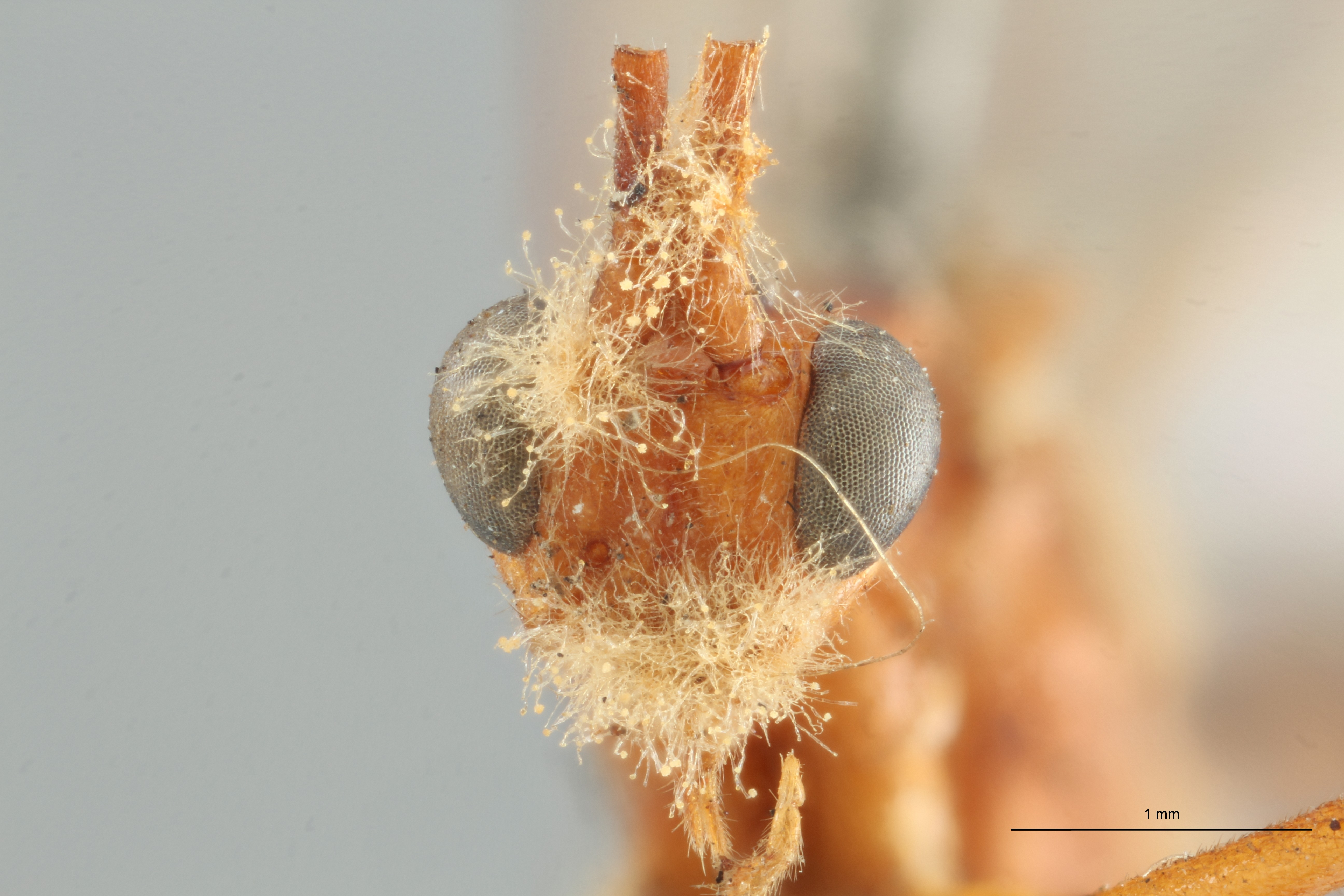 Phylax annulicornis typ F ZS PMax.jpg