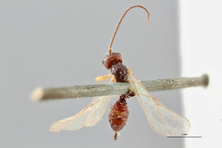Opius (Misophthora) instabilis lct D ZS PMax.jpg