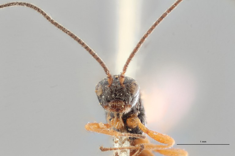 Opius rufipes lct F ZS PMax.jpg