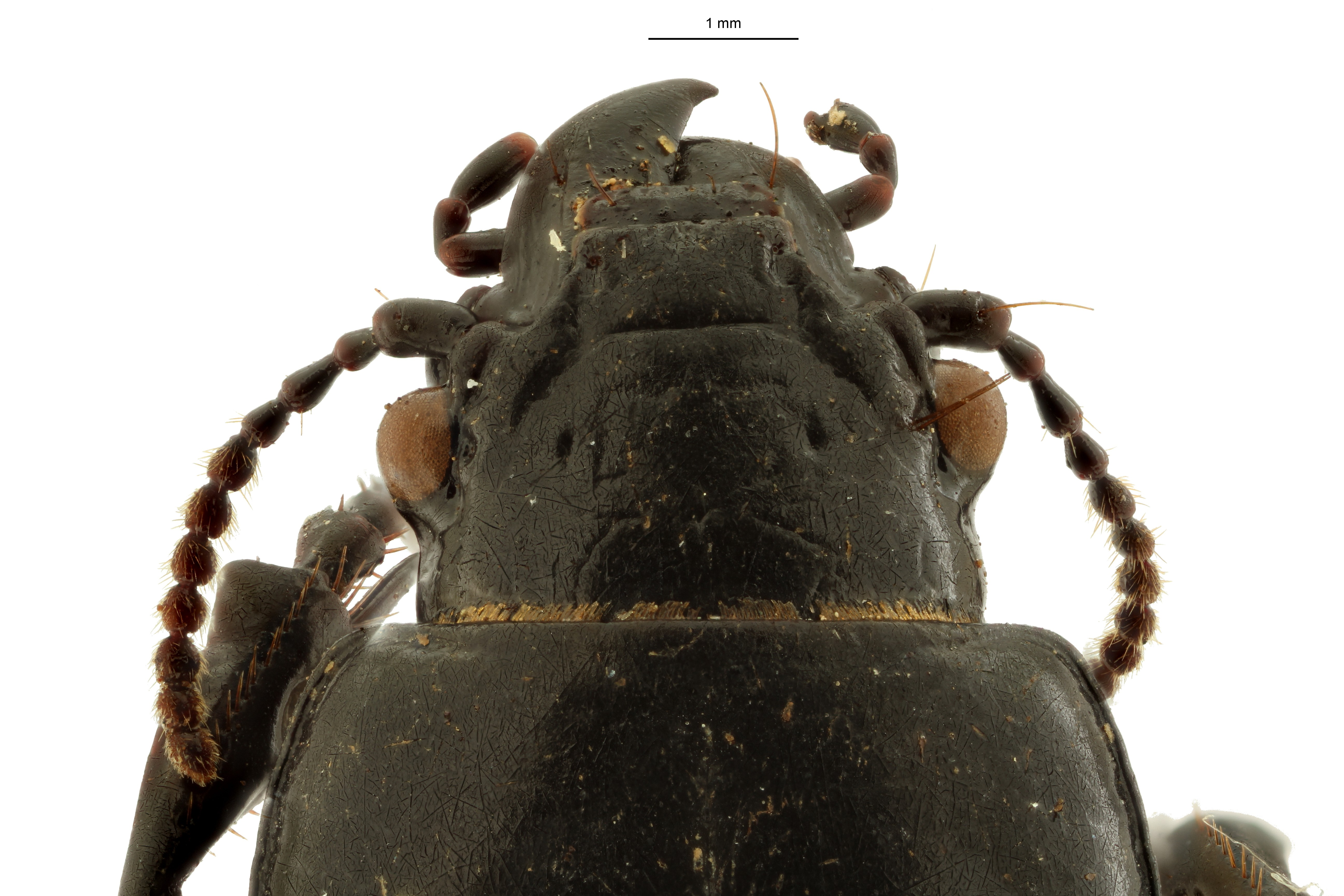 Percosoma asymetricum t DH ZS PMax Scaled.jpeg