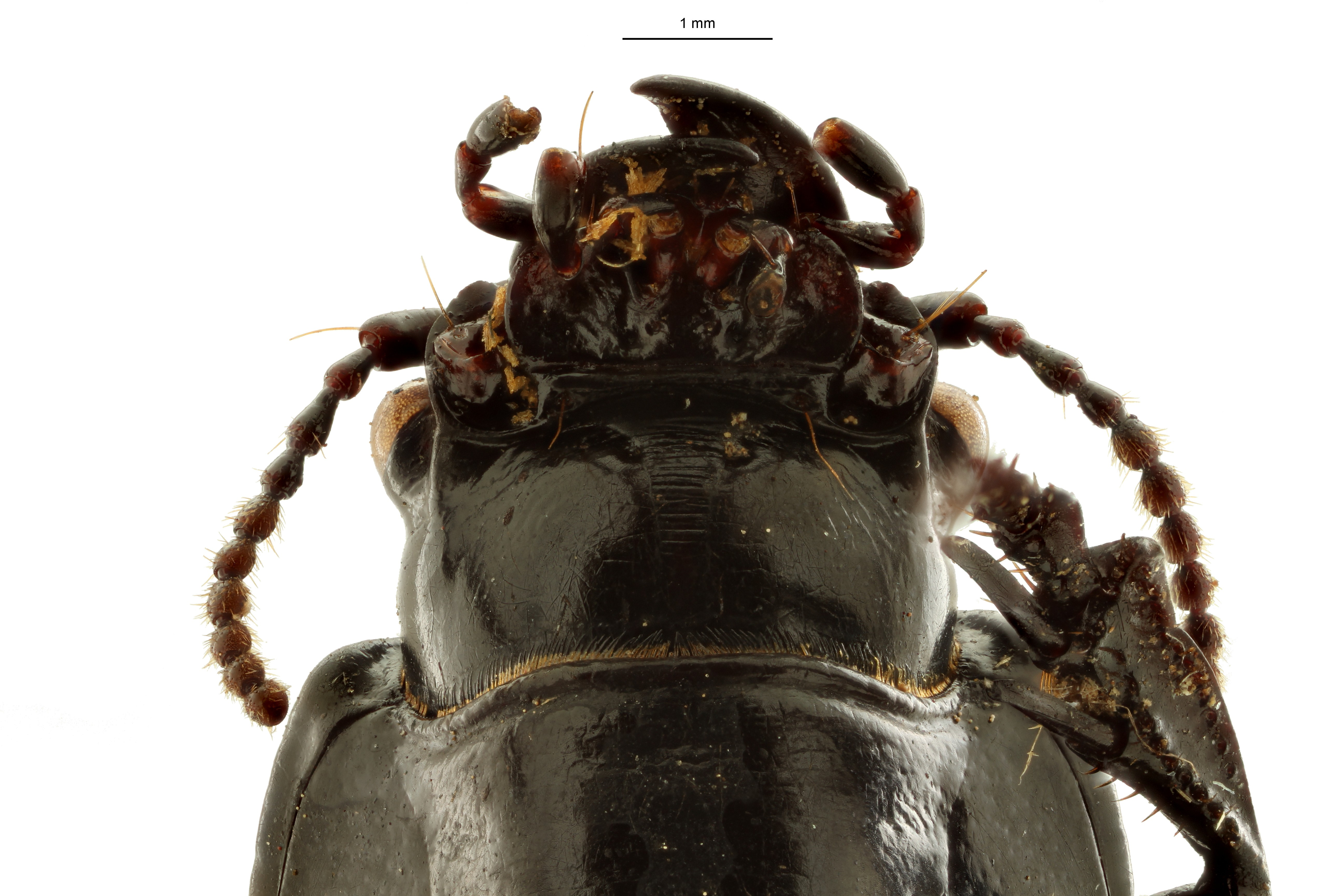Percosoma asymetricum t VH ZS PMax Scaled.jpeg