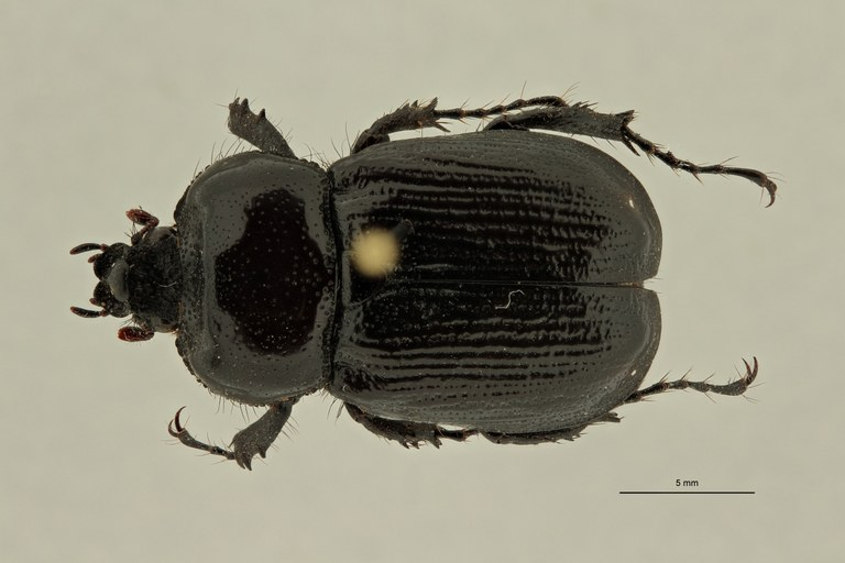 Coelocorynus abessynica ht D ZS PMax Scaled.jpeg