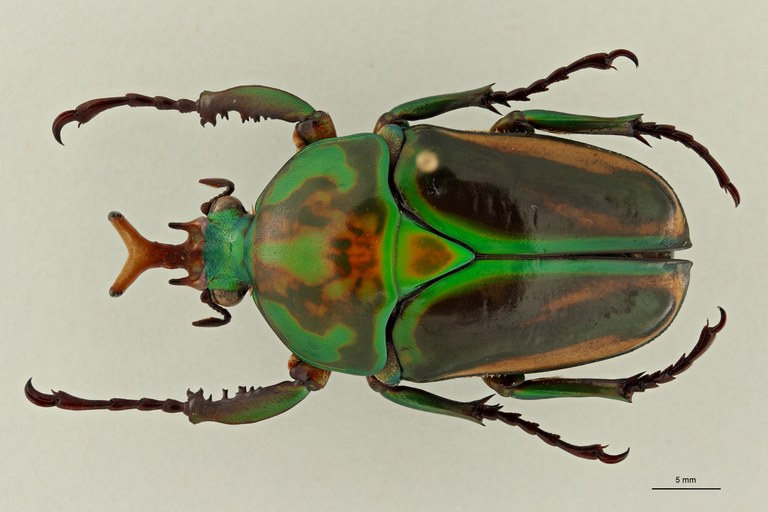 Eudicella woermanni alexisi ht D ZS PMax Scaled.jpeg