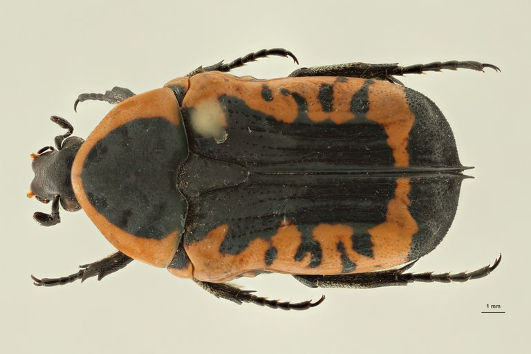 Phonotaenia drumonti pt D ZS PMax Scaled.jpeg