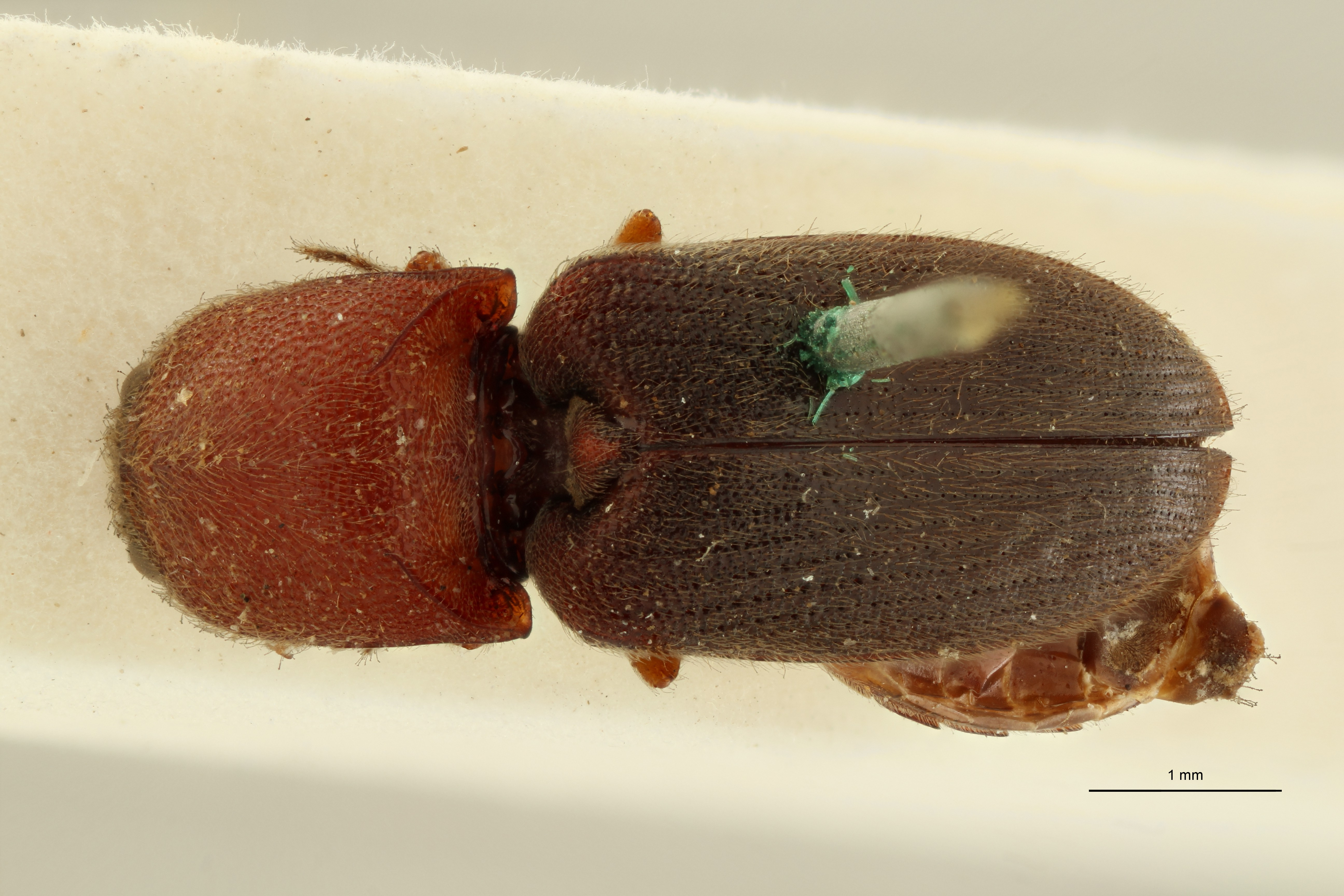 Arhaphes ruficollis nt1 D ZS PMax Scaled.jpeg