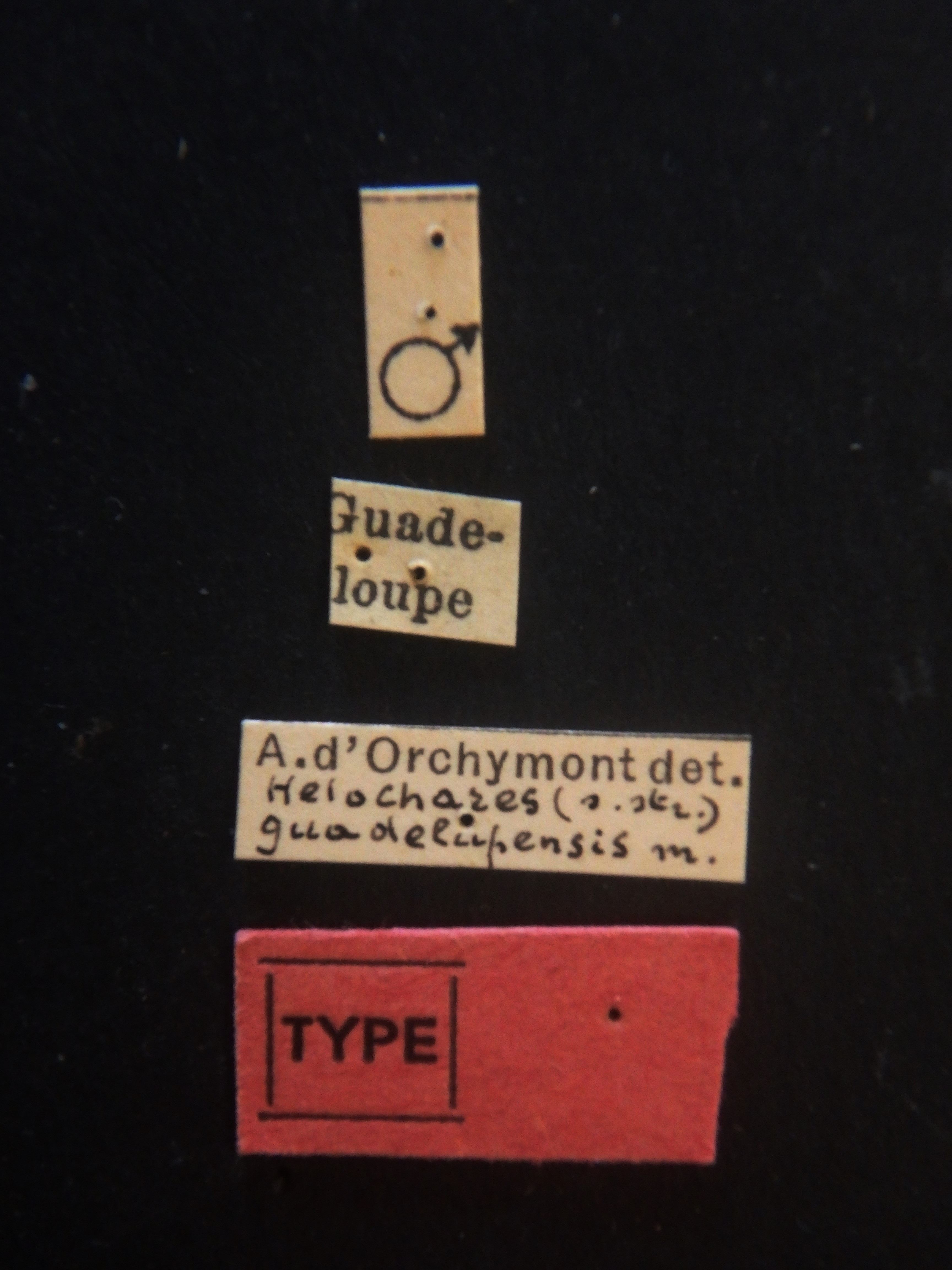Helochares (Helochares) guadelupensis M t  Labels.JPG