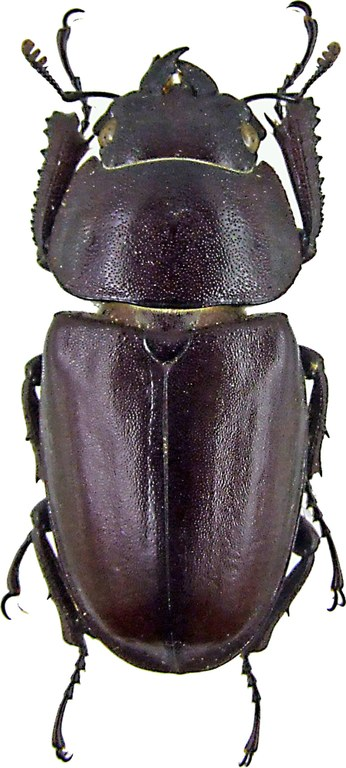 Prosopocoilus inclinatus 1220.jpg
