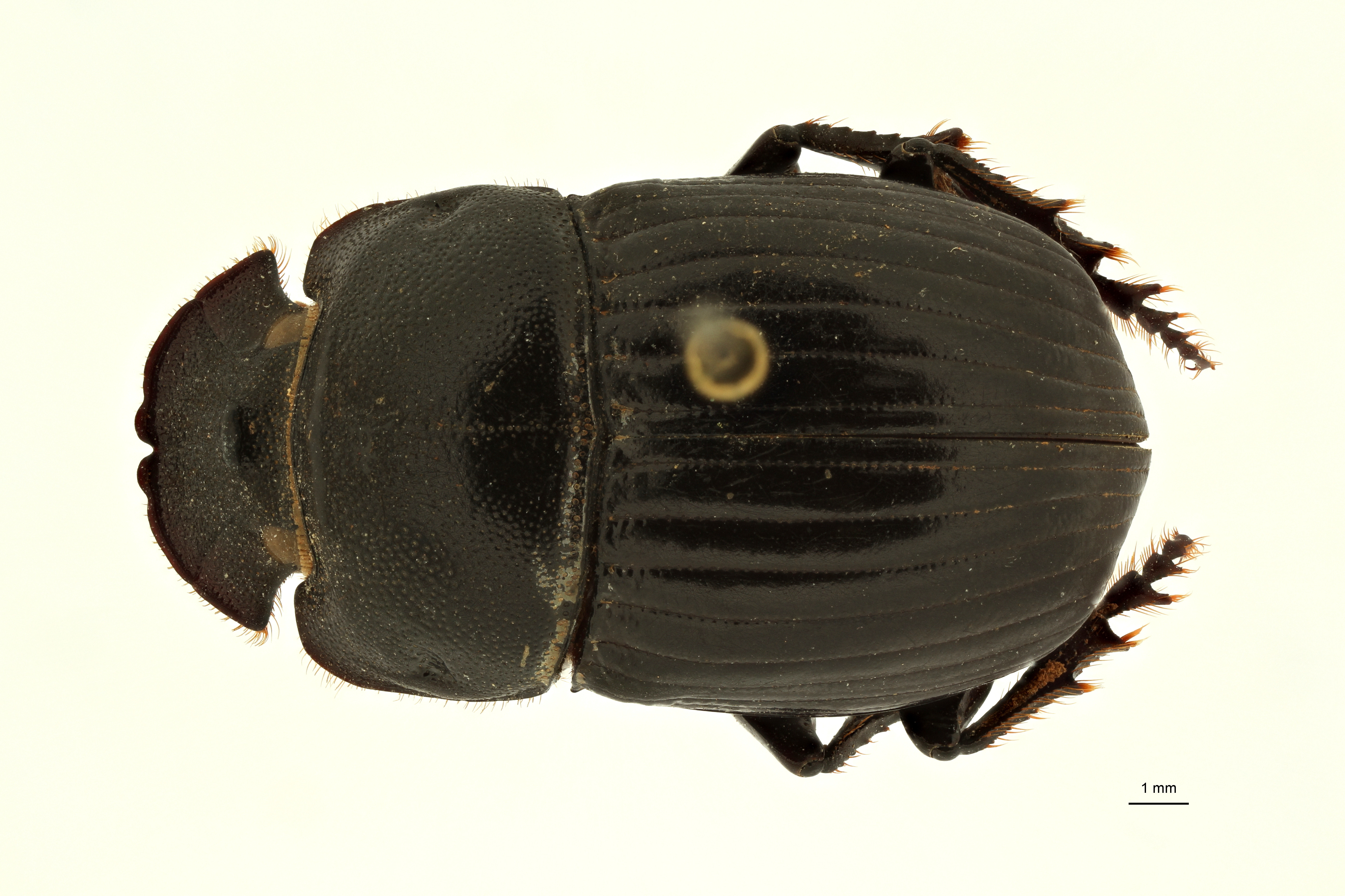 Copris carinicus st F D ZS PMax Scaled.jpeg
