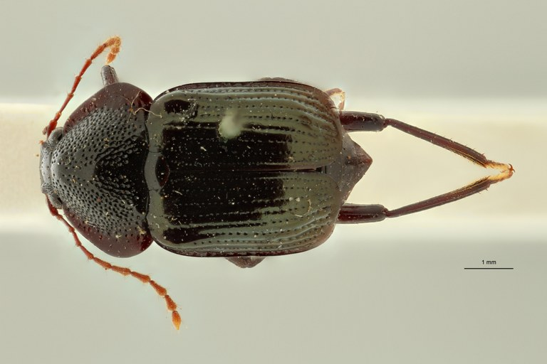 Apatetica viridipennis t D ZS PMax Scaled.jpeg