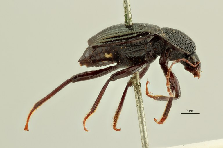Apatetica viridipennis t L ZS PMax Scaled.jpeg
