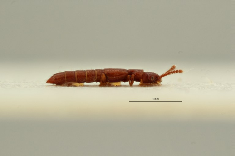 Espeson microphthalmus t L ZS PMax Scaled.jpeg