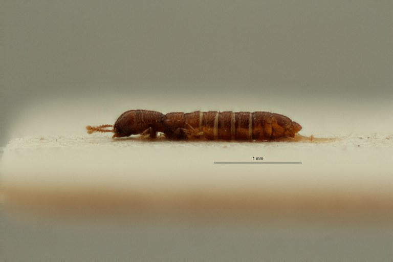 Heterocylindropsis kahuziensis pt L ZS PMax Scaled.jpeg