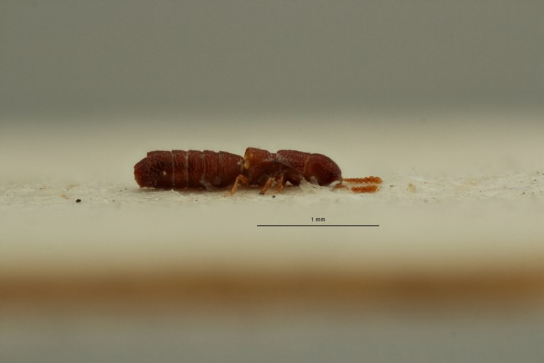 Heterocylindropsis luberensis pt L ZS PMax Scaled.jpeg