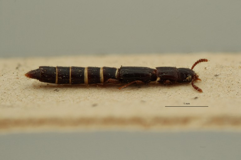 Lispinus lineipennis st L ZS PMax Scaled.jpeg