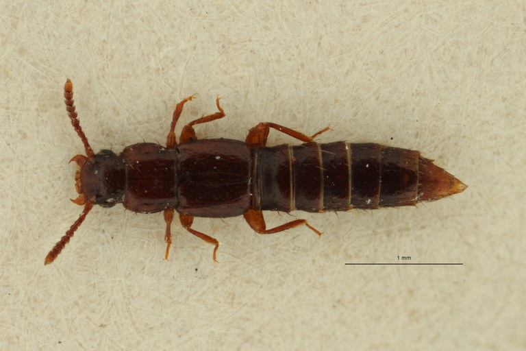 Lispinus parvipennis st D ZS PMax Scaled.jpeg