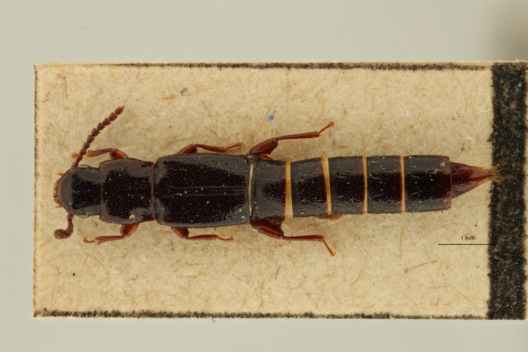 Lispinus rugipennis st D ZS PMax Scaled.jpeg