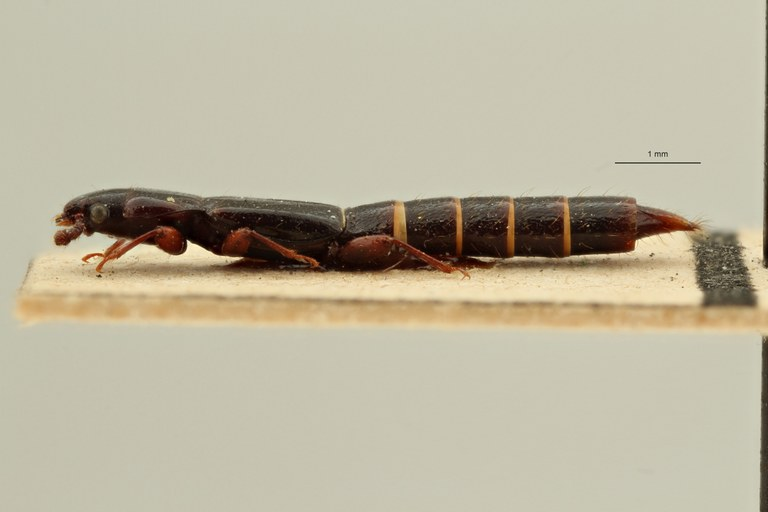 Lispinus rugipennis st L ZS PMax Scaled.jpeg