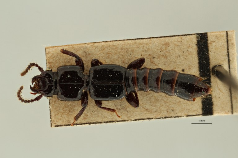 Priochirus cavifrons st D ZS PMax Scaled.jpeg