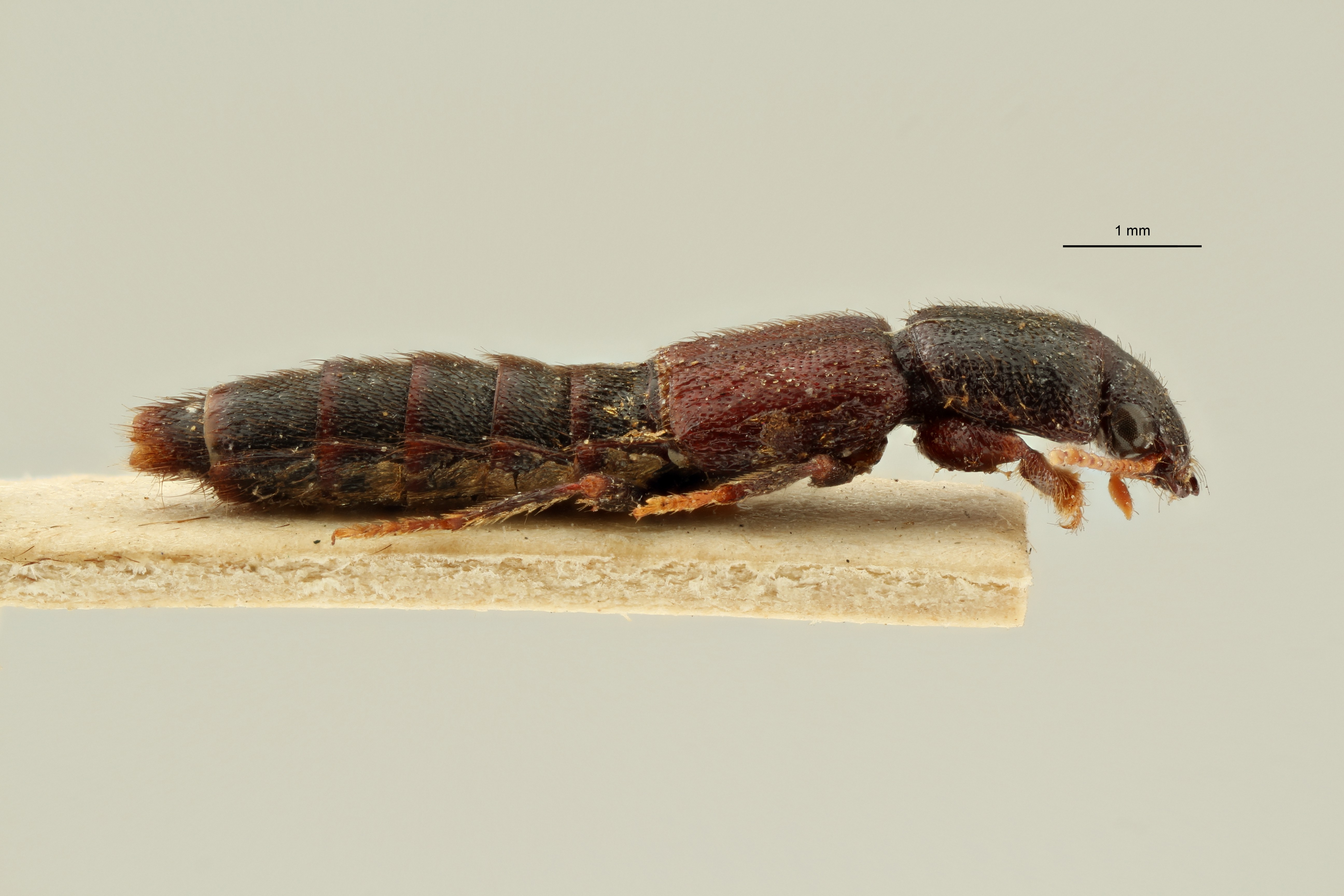 Pinophilus curticornis t L ZS PMax Scaled.jpeg