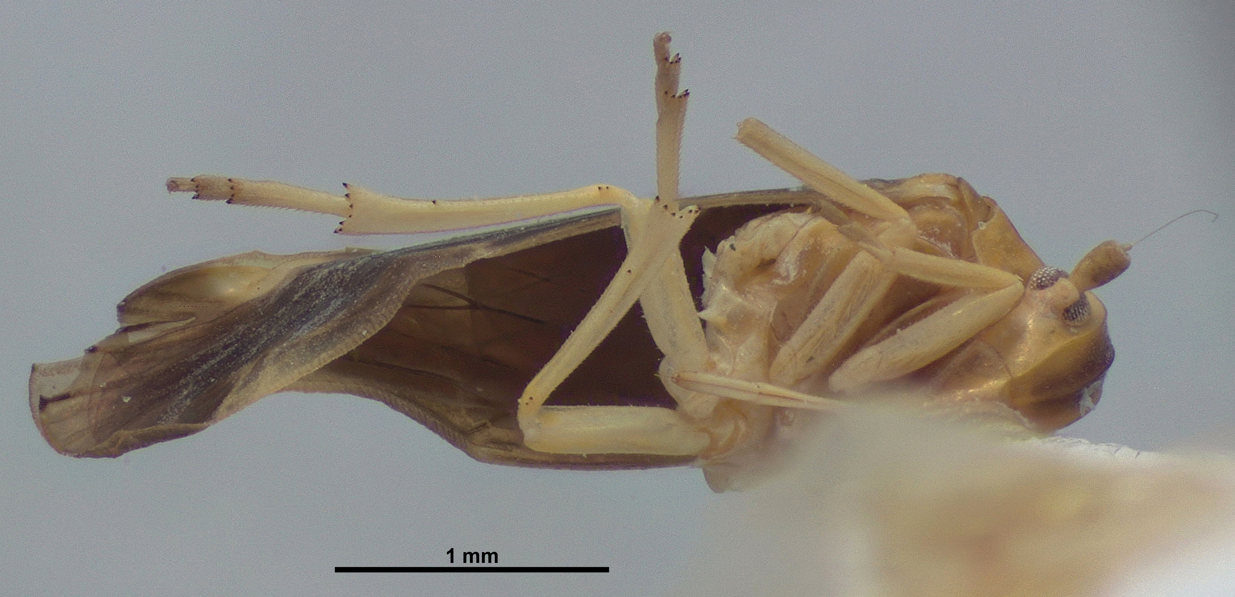 BE-RBINS-ENT Achilixius kolintangi Sulawesi Holotype Male Ventral 20x Jerome Constant.jpg
