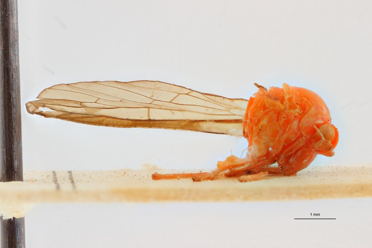 Diostrombus sibitensis pt L ZS PMax Scaled.jpeg