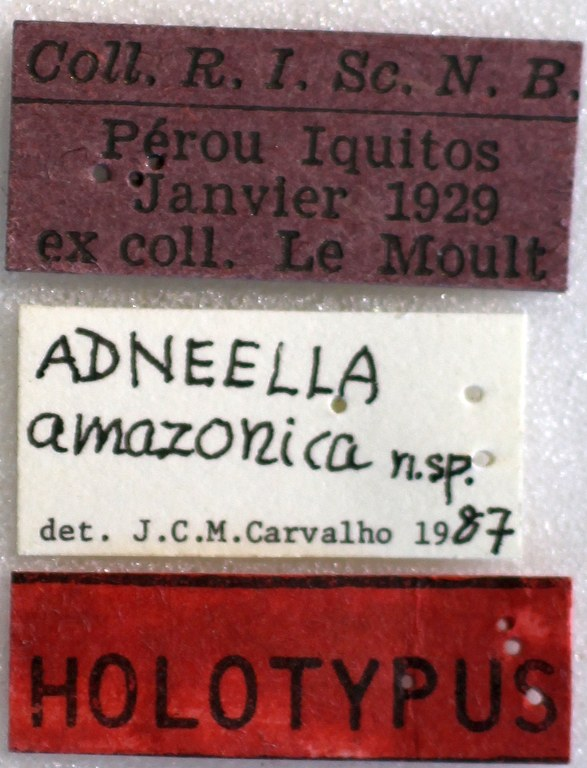 BE-RBINS-ENT Adneella amazonica Holotype Female Labels Jerome Constan.jpg