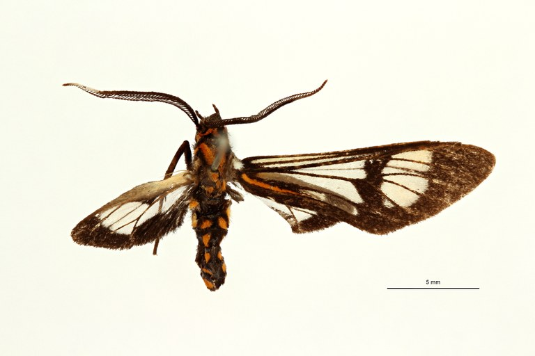 Cosmosoma caecoides t D ZS PMax Scaled.jpeg