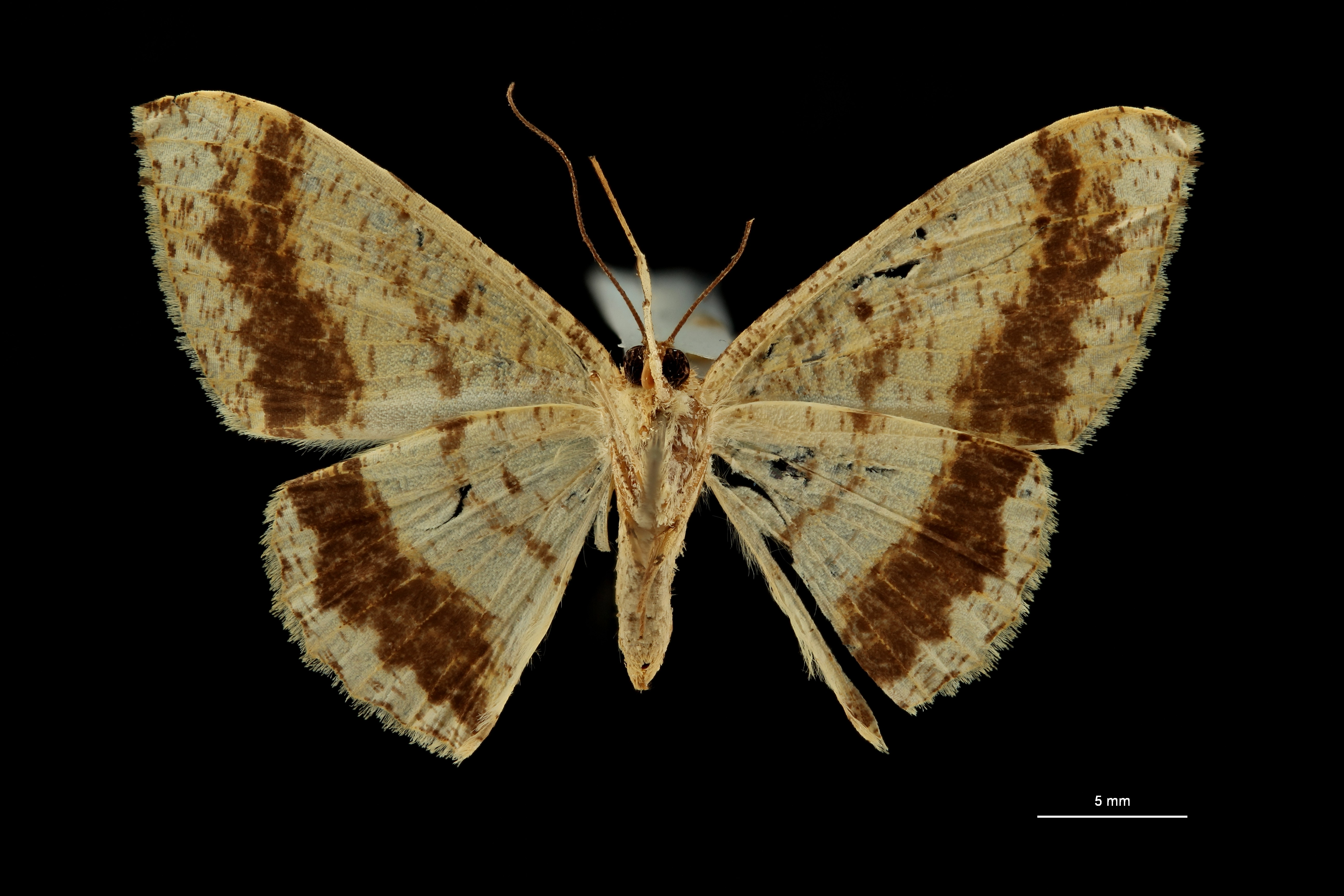 Luxiaria prouti pt V ZS PMax Scaled.jpeg