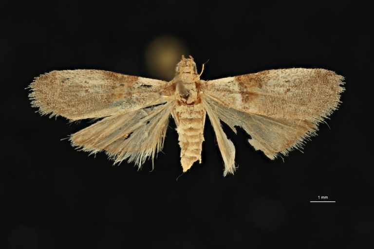 Acrobasis arenella pt D ZS PMax Scaled.jpeg