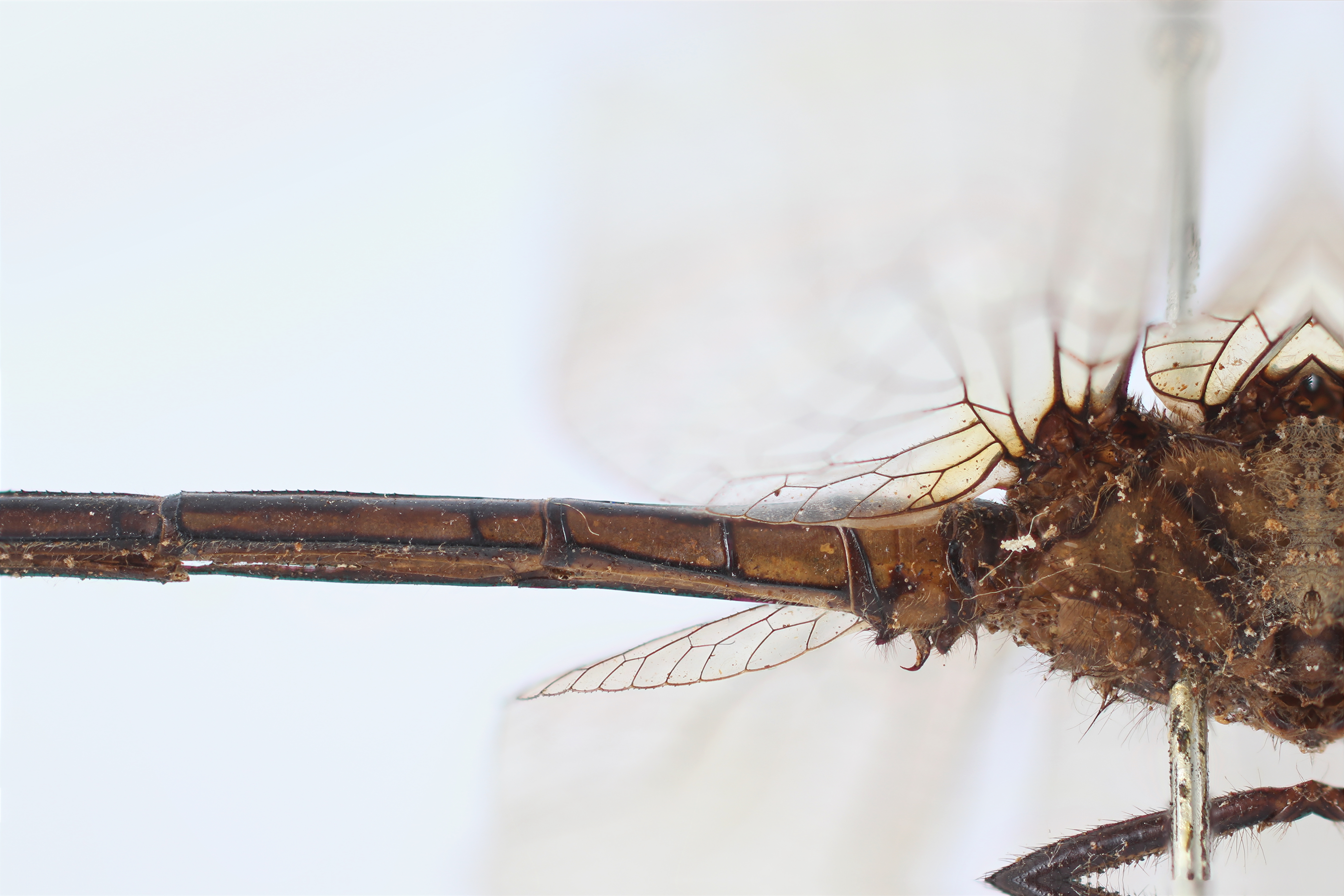 BE-RBINS-ENT Macrothemis lauriana Syntype male Base Abdomen Lateral Jerome Constant.jpg