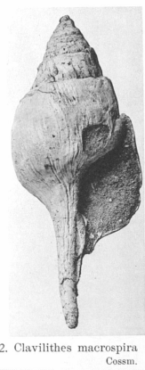 Fig.2 - Clavilithes macrospira