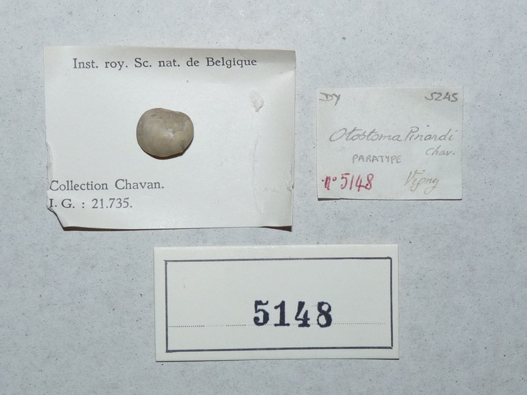 IRSNB 05148 (Otostoma pinardi) Labels