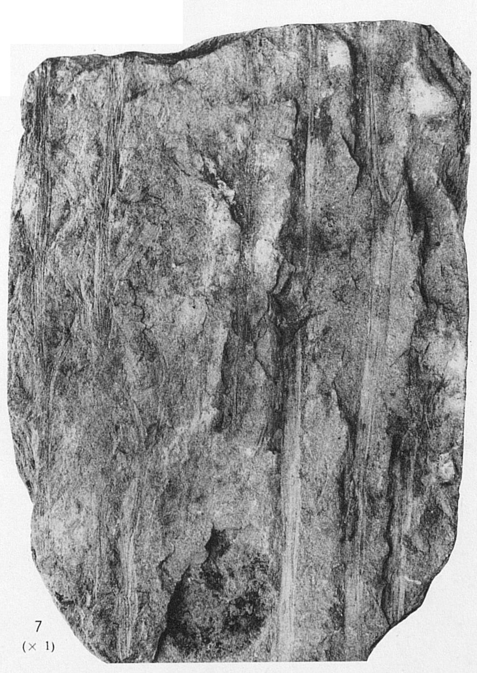 Fig 8 - Aphyllopteris sp.