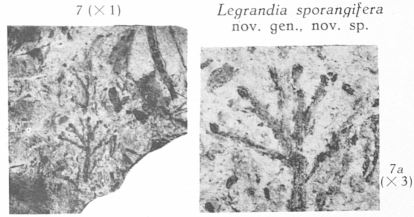 Fig. 7, 7a - Legrandia sporangifera nov. sp. : 7 (L) & 7a (R)