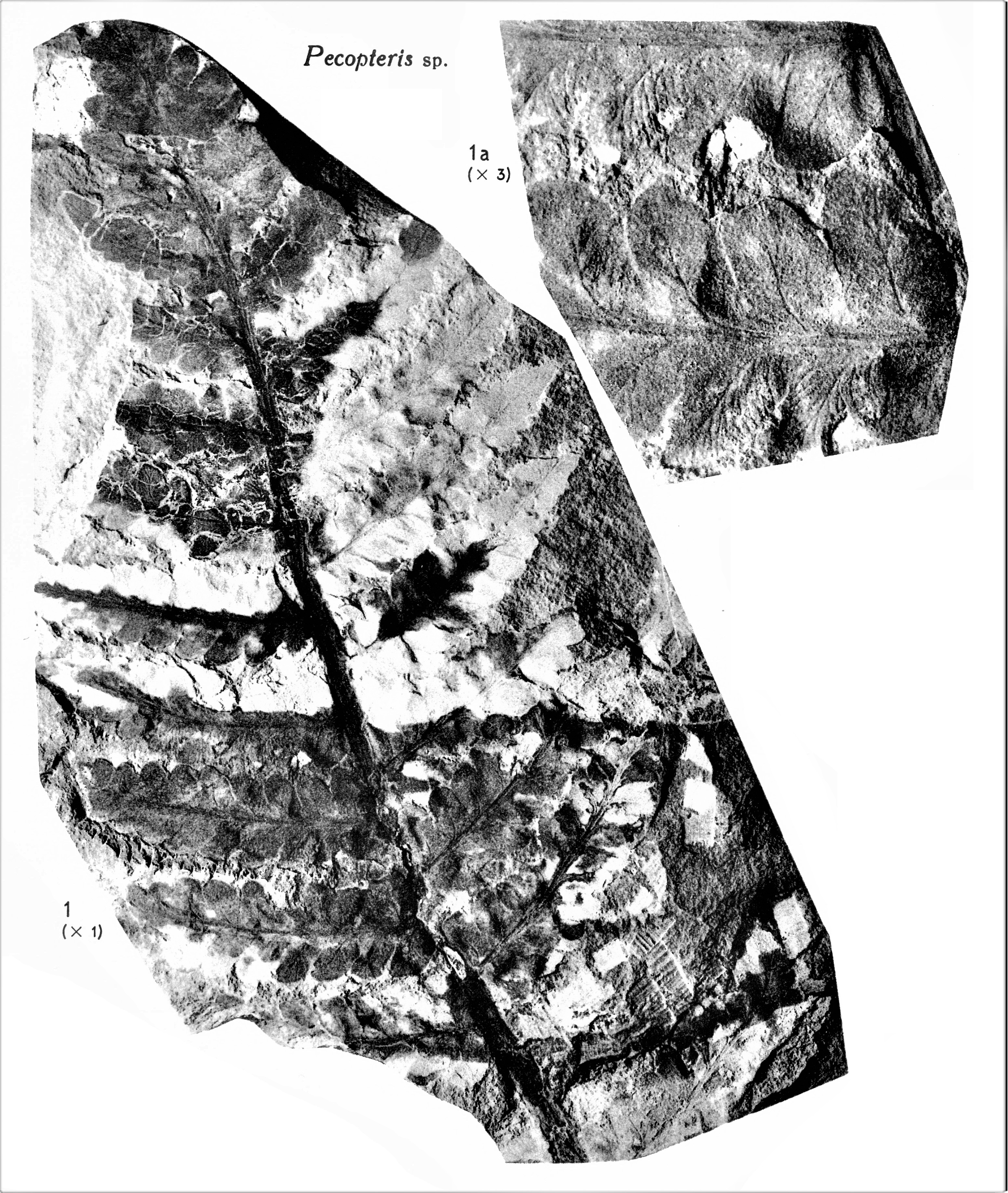 Pl. XII ; Fig 1, 1a