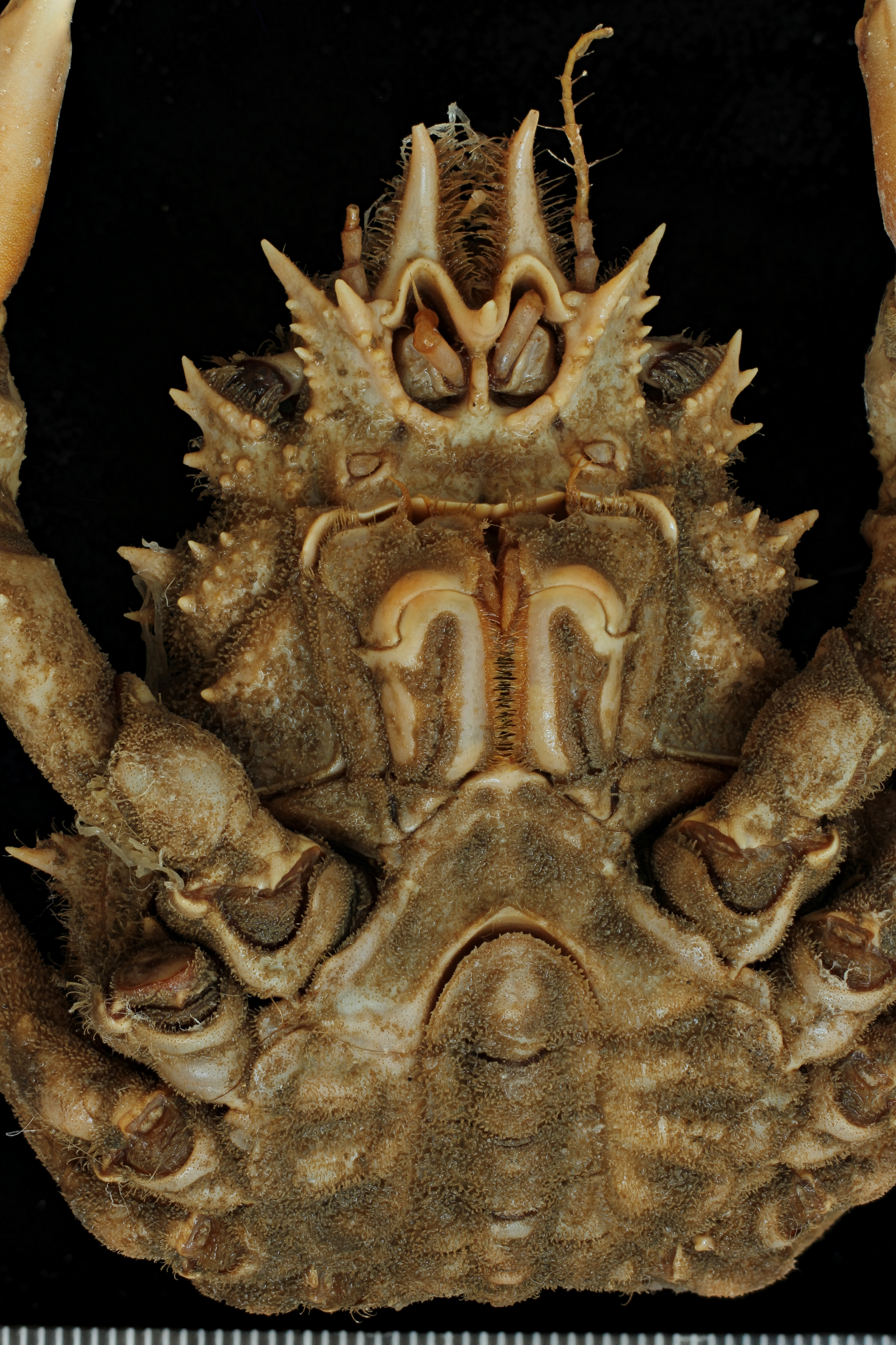 Leptomithrax gaimardii (H. Milne Edwards, 1834) - syntype of Leptomithrax spinulosus Haswell, 1880 - ventral view.