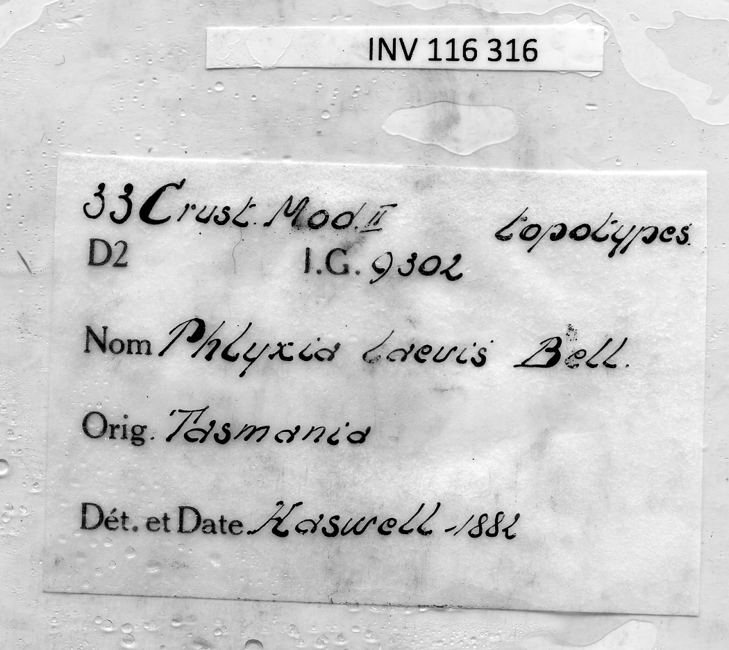 BE-RBINS-INV INV.116316 Phlyxia laevis Topotype Male labels.jpg
