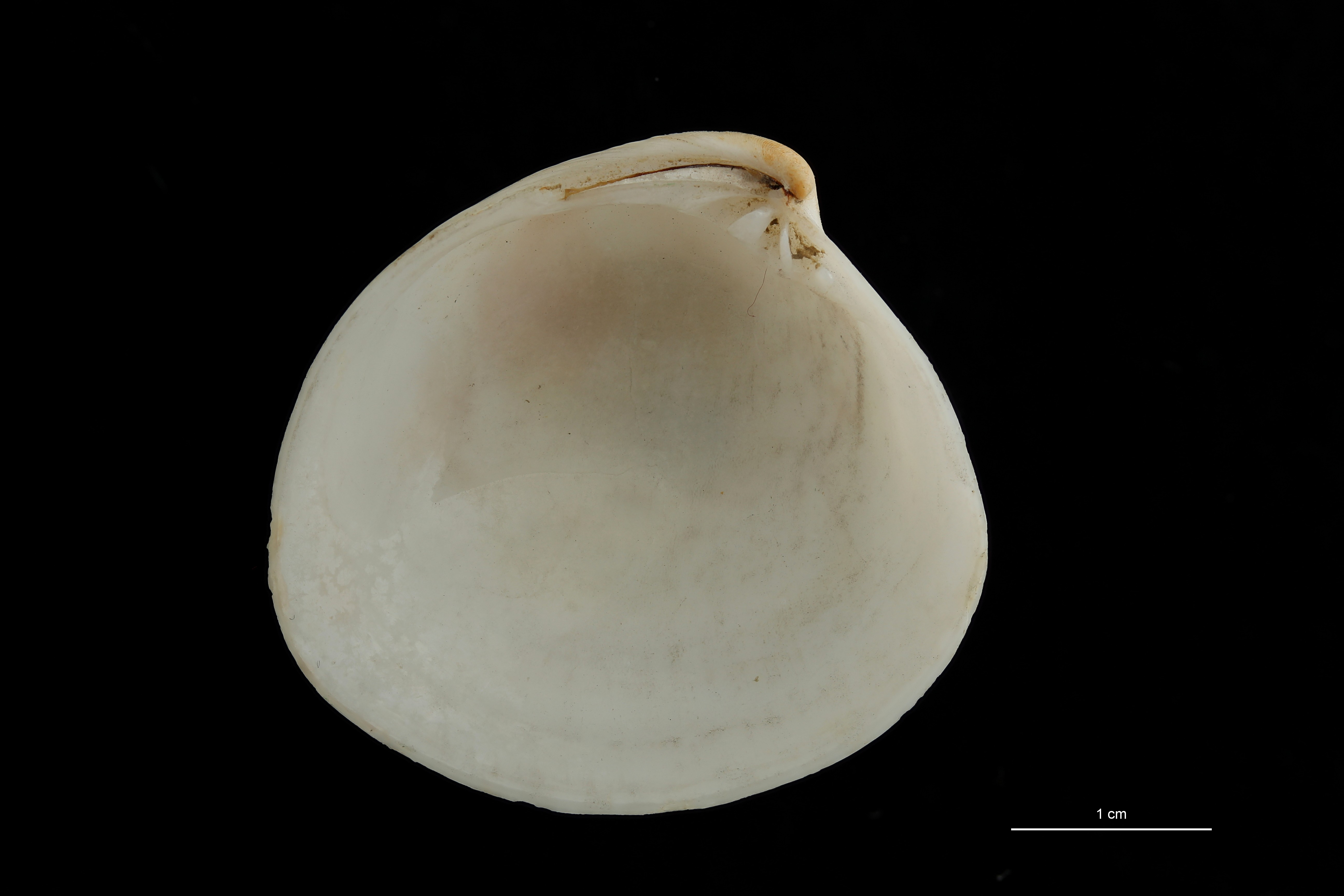 BE-RBINS-INV PARATYPE MT 208 Dosinia insularum VENTRAL ZS DMap Scaled.jpg