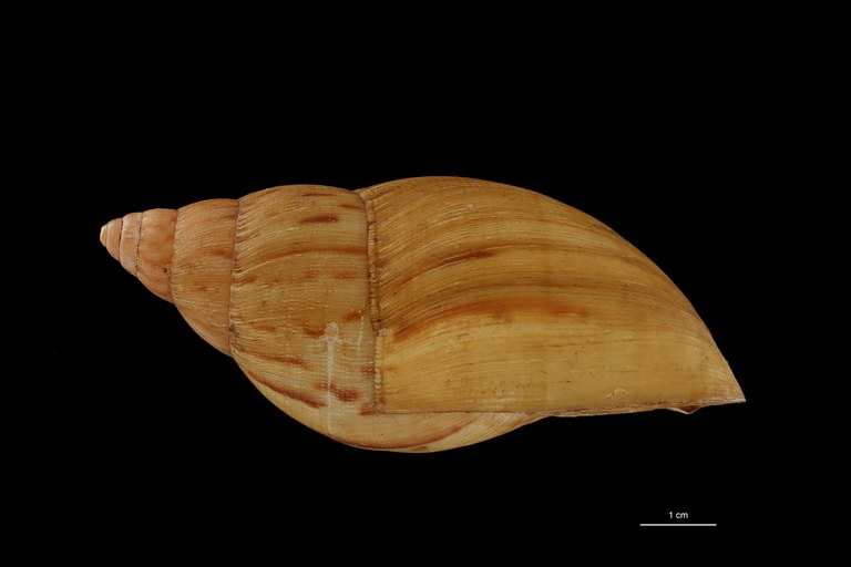 BE-RBINS-INV COTYPE MT 170 Achatina iredalei LATERAL ZS DMap Scaled.jpg