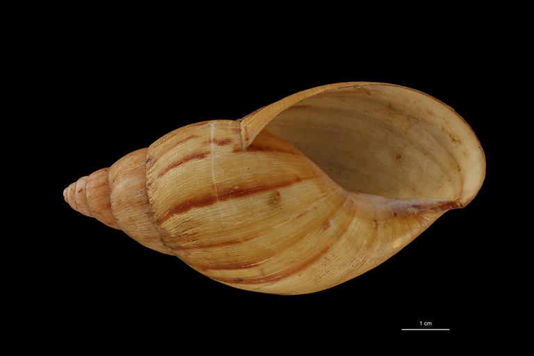 BE-RBINS-INV COTYPE MT 170 Achatina iredalei VENTRAL ZS DMap Scaled.jpg