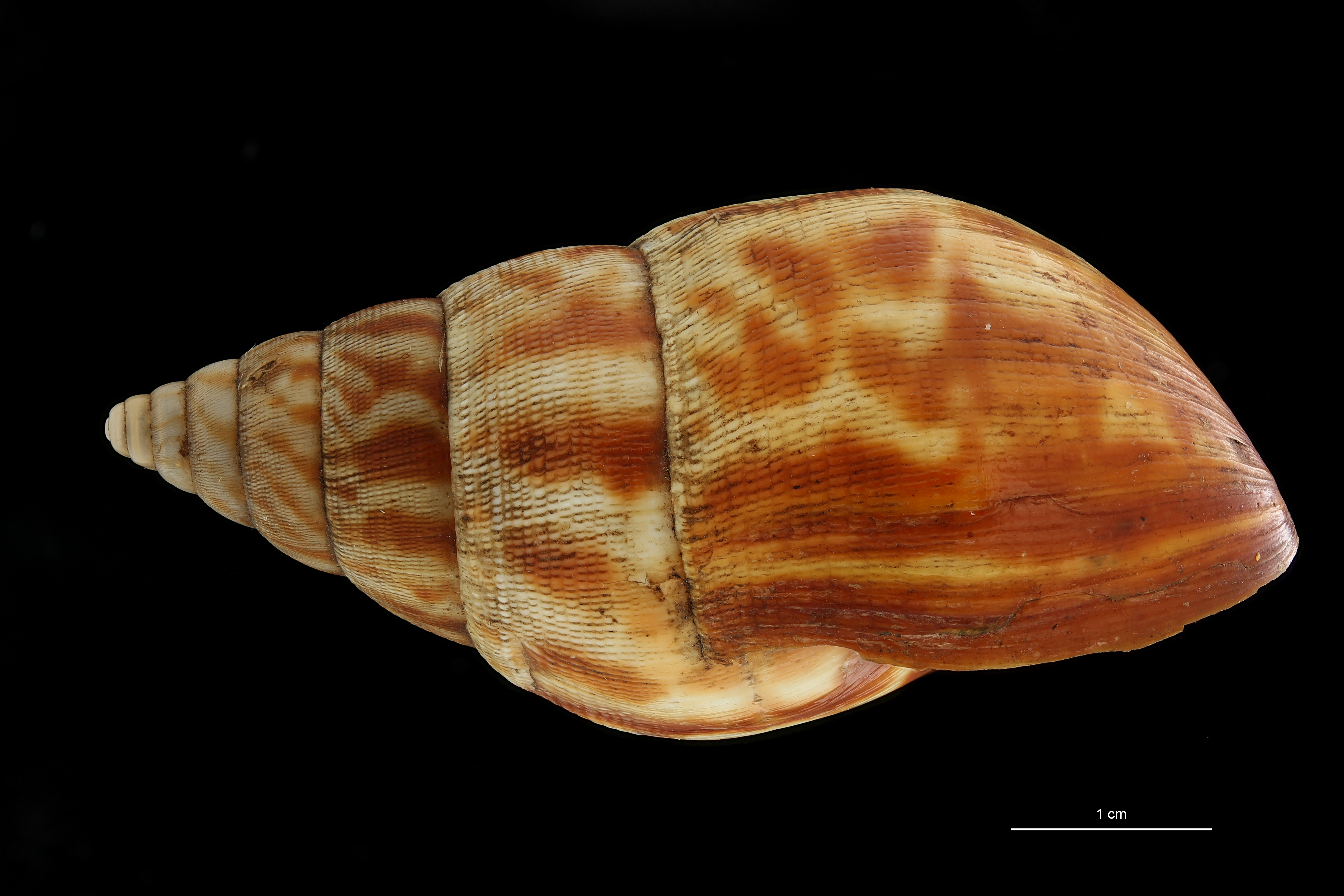 BE-RBINS-INV MT 164 Achatina morrelli Cotype L ZS DMap Scaled.jpg