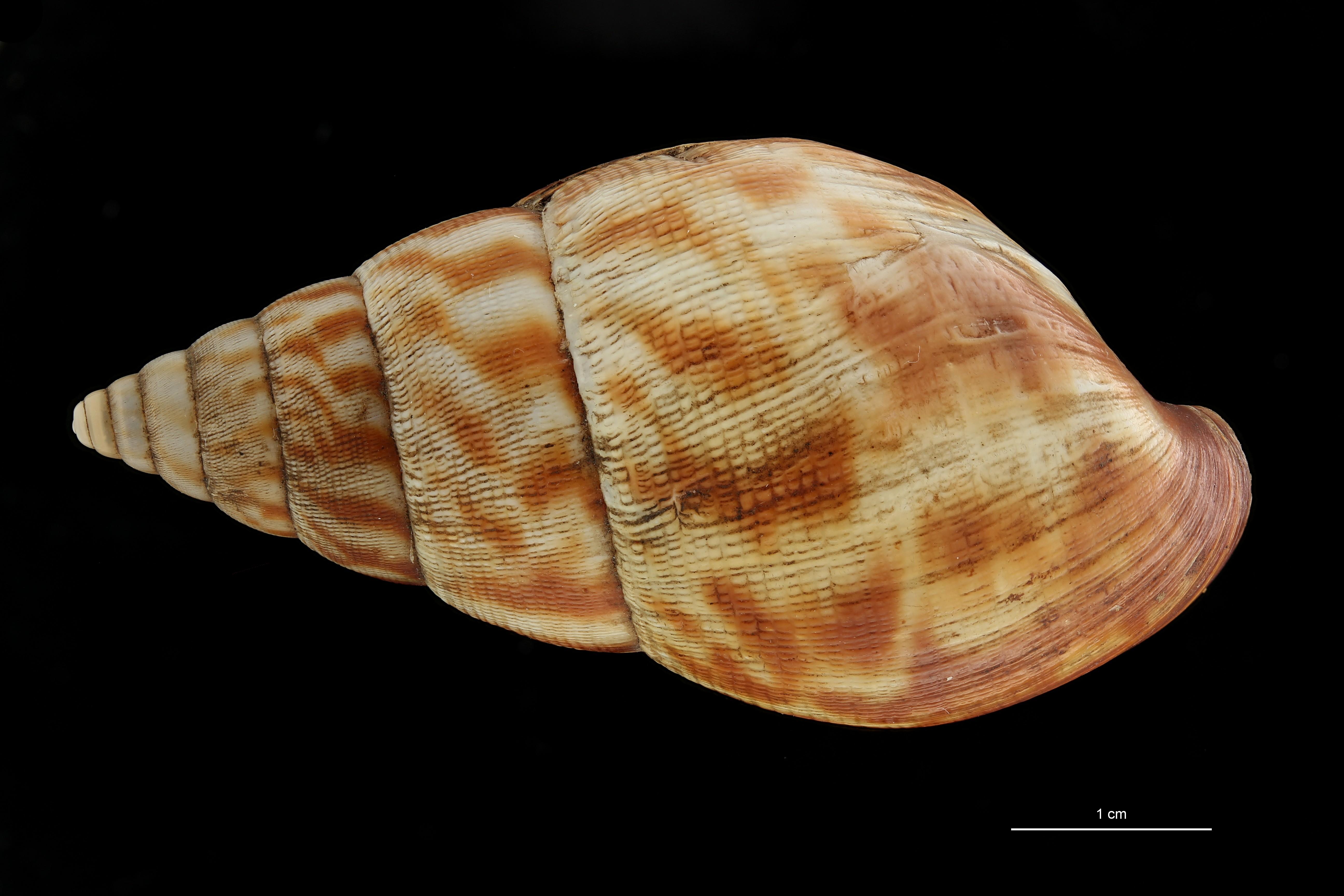 BE-RBINS-INV MT 164 Achatina morrelli Cotype D ZS DMap Scaled.jpg