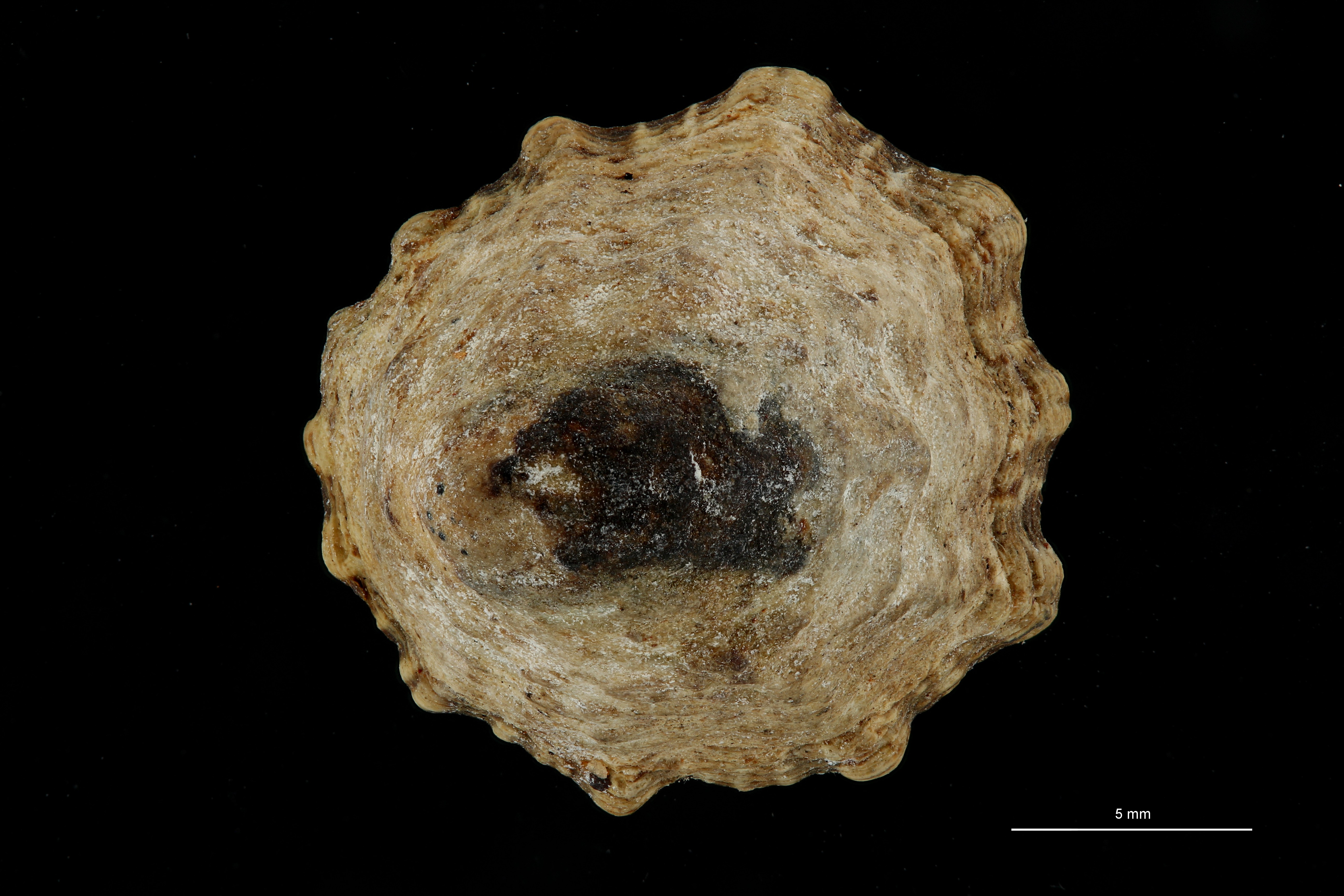 BE-RBINS-INV MT 8 Acmaea perconica HOLOTYPE DORSAL ZS DMap Scaled.jpg