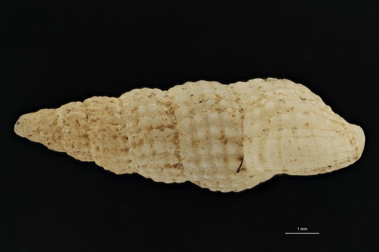 BE-RBINS-INV TYPE MT 613 Donovania candissima var. tenuisculpta LATERAL ZS PMax Scaled.jpg