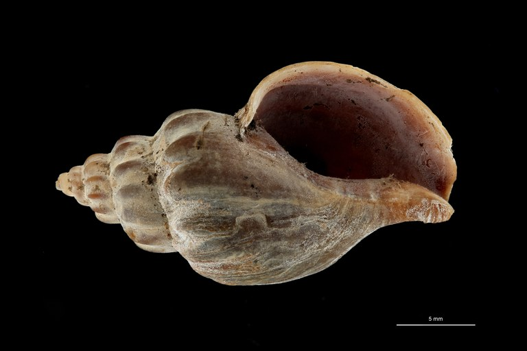 BE-RBINS-INV TYPE MT 612 Pareuthria fuscata var. curta VENTRAL ZS PMax Scaled.jpg