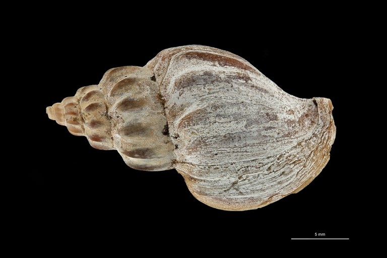 BE-RBINS-INV TYPE MT 612 Pareuthria fuscata var. curta DORSAL ZS PMax Scaled.jpg