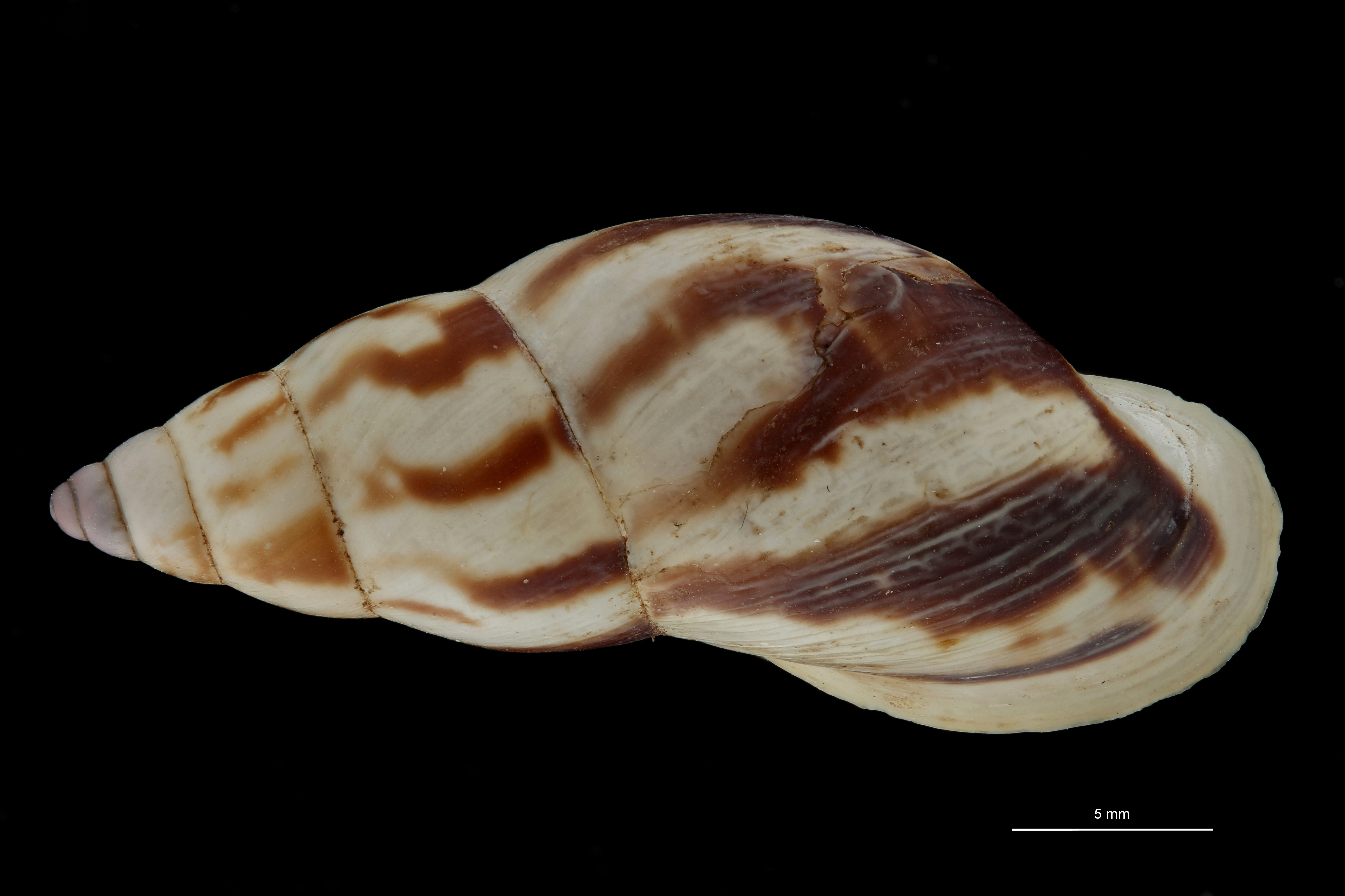 BE-RBINS-INV MT 693 Bulimulus palmeri Type D ZS PMax Scaled.jpg