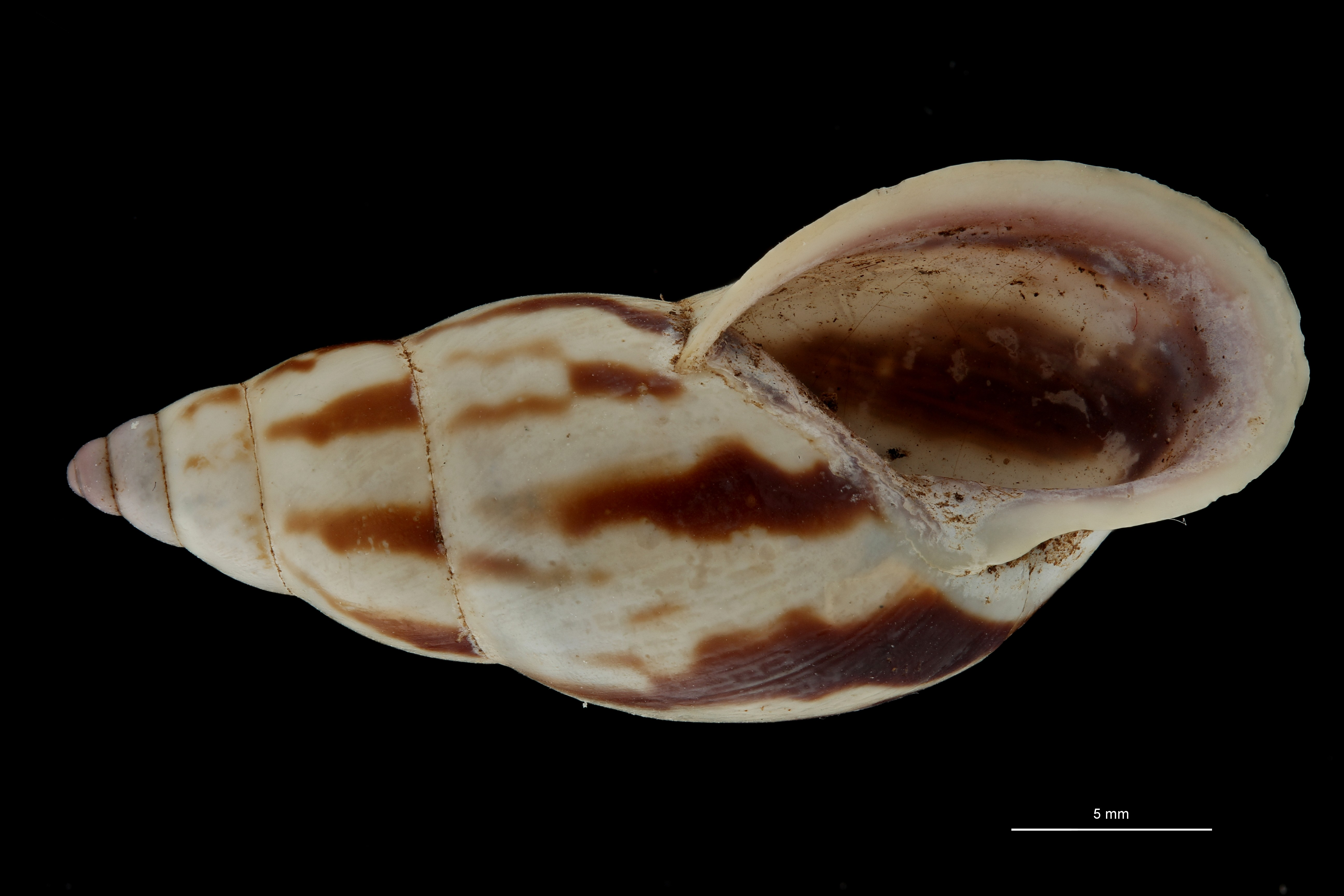 BE-RBINS-INV MT 693 Bulimulus palmeri Type V ZS PMax Scaled.jpg