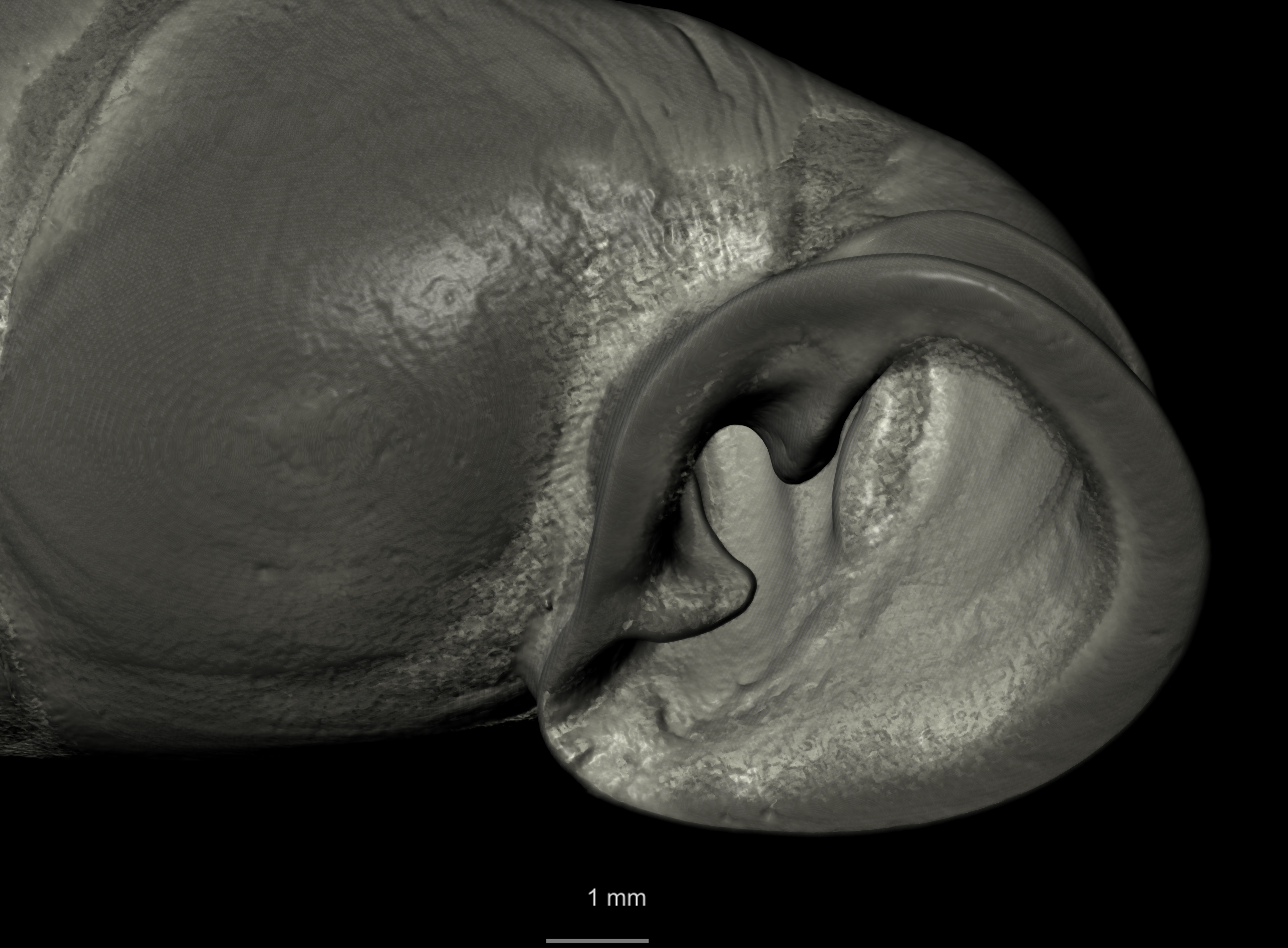 BE-RBINS-INV SYNTYPE MT 2417 Clausilia mansuyi MCT XRE MOUTH OBLIQUE.jpg